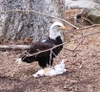 Eagle_and_dinner